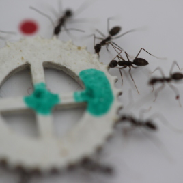 A group of longhorn crazy ants cooperate to transfer an item too heavy for each of them to move alone. (Photo credit: Ehud Fonio and Ofer Feinerman)