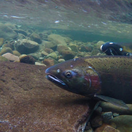 Wild male Coho salmon (picture above) reproduce better than males released from hatcheries. (Image credit: Bureau of Land Management Oregon and Washington)