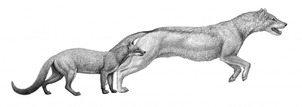 Two extinct species of the canid family, Hesperocyon (left) and Sunkahetanka (right) show the change in canid hunting styles as the species evolved due to climate change.