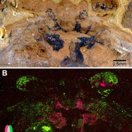 A: Under a light microscope, the above fossil shows traces of preserved neural tissues in black. B: An elemental scan of this fossil uncovered that carbon (in pink) and iron (in green) do not overlap in the preserved neural tissue. (Image credit: Strausfeld et al. and Current Biology)