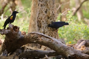 A New Caledonian crow observes another using a stick to access insects for food. (Image credit: Jolyon Troscianko)