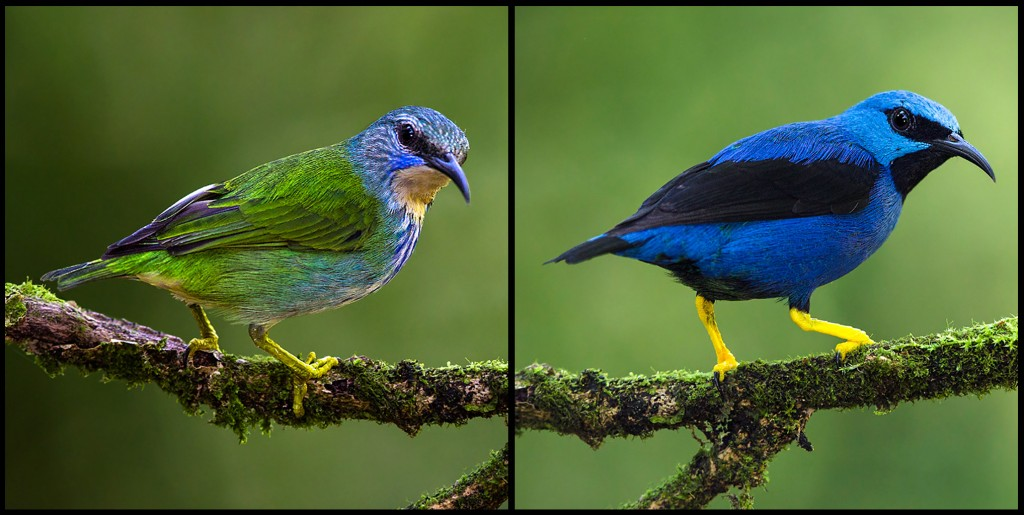 Shining Honeycreeper males (right) are dramatically more colorful than females (left).