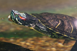 The red-eared slider, identifiable by the marking on the side of the face and neck, is native to the United States of America.