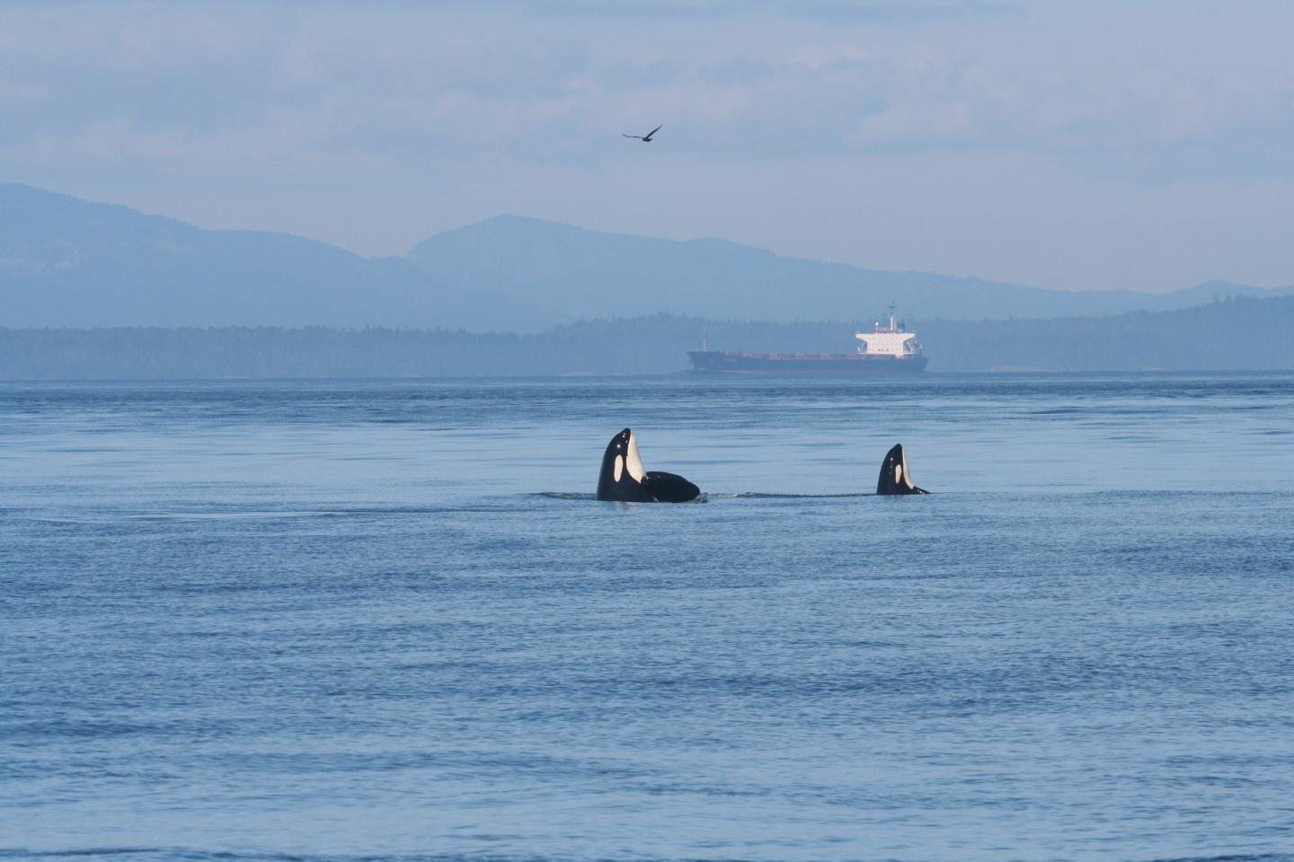 Two endangered Southern Resident killer whales rise in unison from the Salish Sea as a tanker passes through their habitat. (Image credit: beamreach.org)