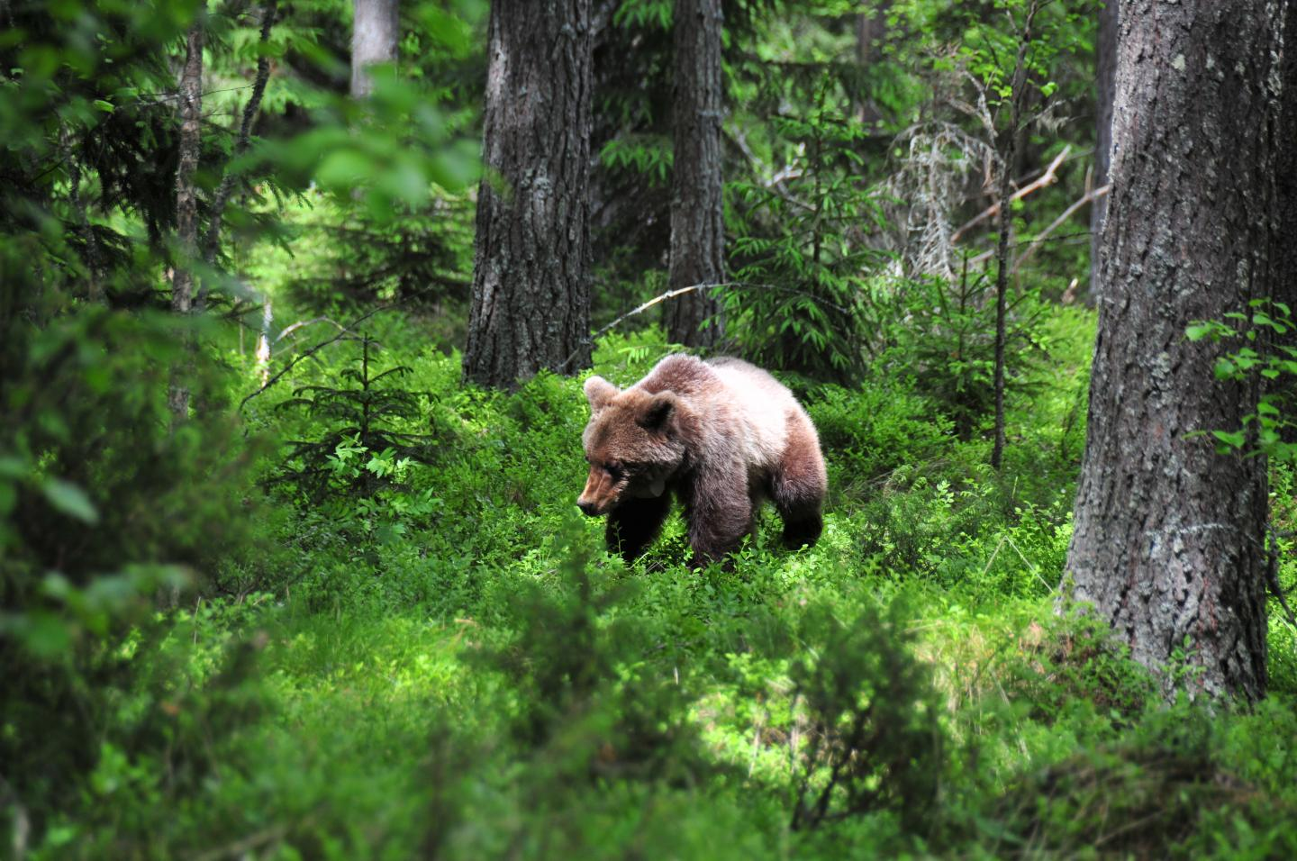 The brown bear (Ursus arctos) if native to Northern and Western Canada, and can be found in the Yukon, the Northwest Territories, British Columbia, and parts of Alberta. (Image credit: Ole Fröbert).