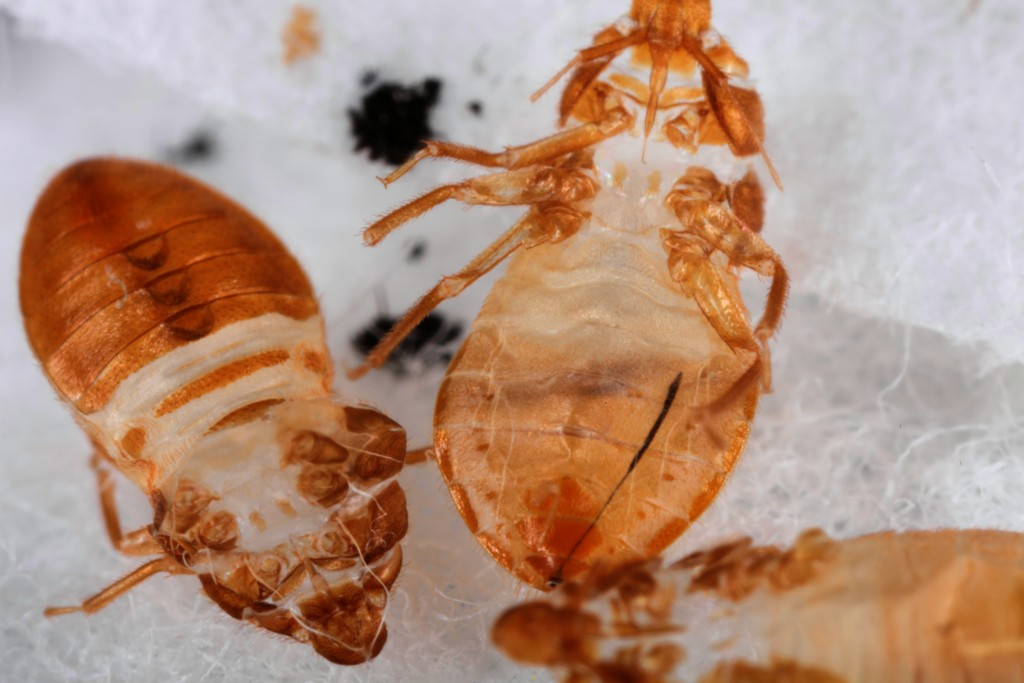 A close-up image of three shed bed-bug skins, the protective layer which helps protect the bugs from insecticides. (Image credit: Louis Sorkin)