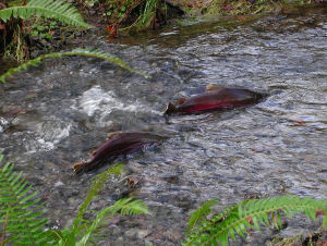 Coho Salmon are native to Canada. They are fished from the wild as well as farmed in aquaculture. (Image credit: Oregon Department of Forestry)