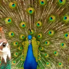 A male peacock courting a female. (Image credit: Roslyn Dakin PLOS ONE e0152759)