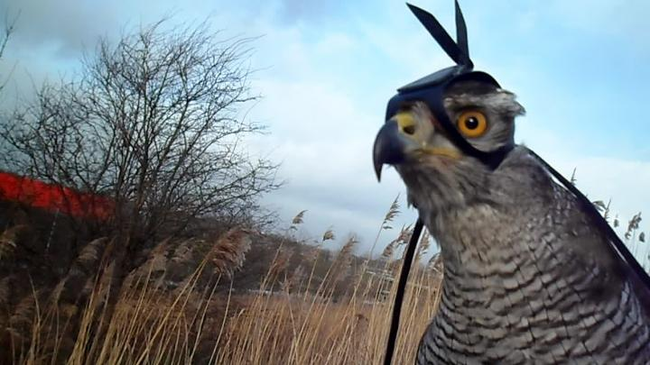 Shinta, a Northern Goshawk, wore a head-mounted camera to assist with a study on raptor hunting behavior. (Image by R. Musters)