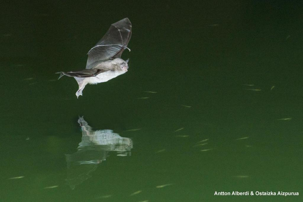 Long-fingered bat swooping to catch a fish. (Image by Antton Alberdi and Ostaizka Aizpurua)