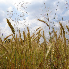 Spelt (pictured) was one of the earliest domesticated grains (Image by storebukkebruse via Flickr)