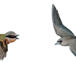 The left bird, Dark batis (Batis crypta) has smaller round wings. The bird on the right, Dusky Woodswallow (Artamus cyanopterus), has long pointy wings evolved for long-distance flying. (Drawing by  Jon Fjeldså)
