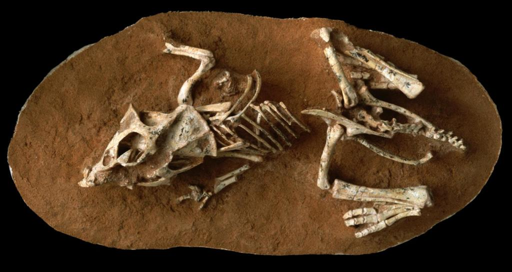 This is a photo of a hatchling Protoceratops andrewsi fossil from the Gobi Desert Ukhaa Tolgod, Mongolia. (Image by AMNH/M. Ellison)