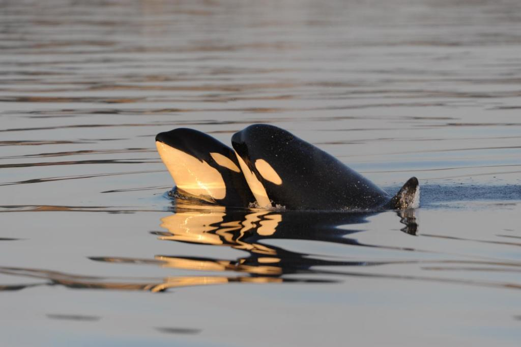 Two killer whales (Image by Kenneth Balcomb, Center for Whale Research)