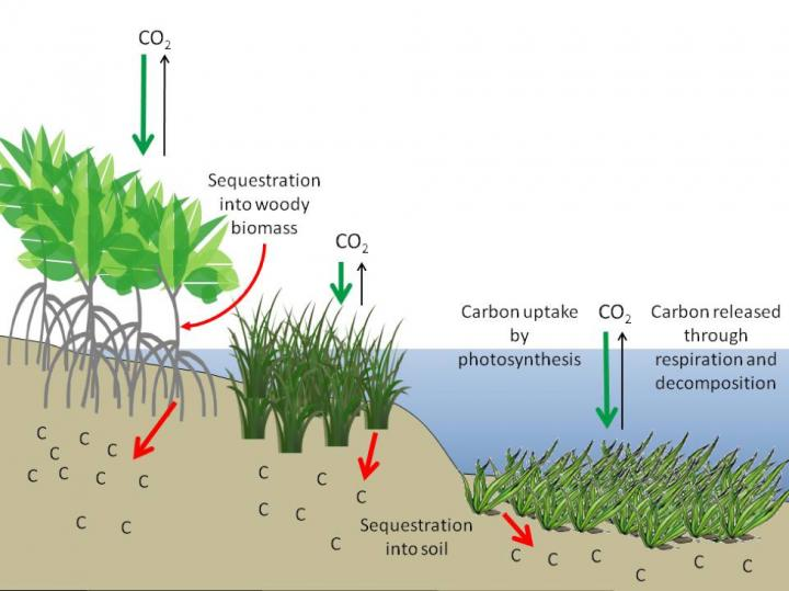 This figure illustrates the efficiency of (L-R) mangrove forests, salt marshes and seagrass beds as reservoirs for carbon. More carbon dioxide is taken up from the atmosphere (green arrows) than is re-released (black arrows), while a substantial amount is stored in soils (red arrows) for hundreds to thousands of years if left undisturbed. (Image by Howard et al.)