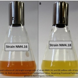 Two strains isolated from the Nopiming Provincial Park Central Gold Mine tailings, grown in liquid culture. (Image by Dr. Vladimir Yurkov)