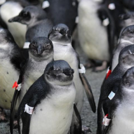 Survival rate of African penguins is decreasing, thanks to overfishing and anthropogenic climate change (Image by SANCCOB)