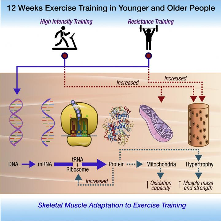 High intensity interval training effectively improved cardio-metabolic health parameters in aging adults. (Image by Robinson et al./Cell Metabolism 2017)
