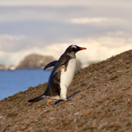 Gentoo penguins climbing slopes to the nesting colony on Ardley Island. (Image by Stephen Roberts)