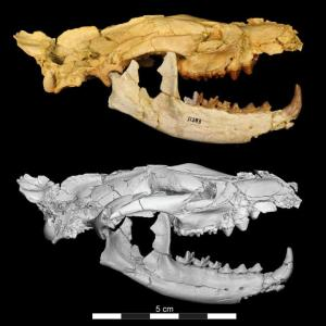 A Hyaenodont skull. (Image by Matthew Borths)