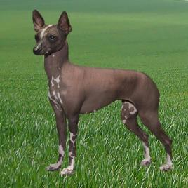 This photograph shows a toy xoloitzcuintlel, a dog breed that likely descended from dogs that crossed the Bering Land Bridge with Native Americans Ancestors. CREDIT Penny Inan