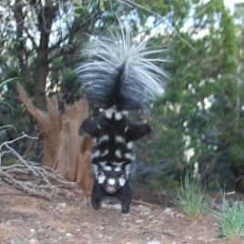 Western spotted skunk is shown doing its characteristic hand-stand when spraying. (Image by Jerry W. Dragoo)