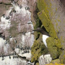 Common murre parents share information about their condition and compensate when one is struggling. (Image by L. Takahashi)