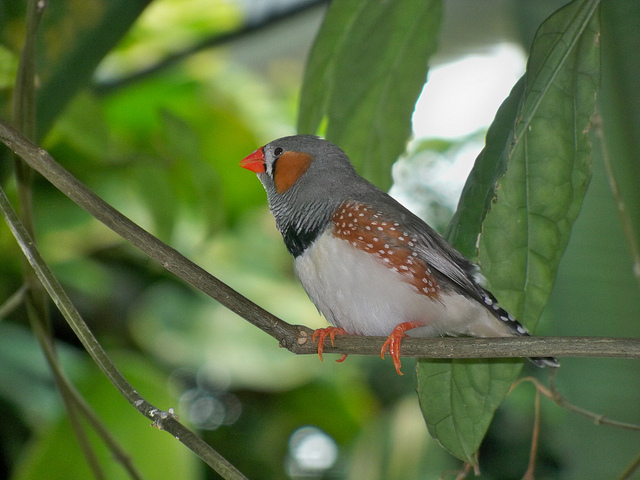 Zebra finch on a tree branch (Image by Kilayla Pillon via Flickr)