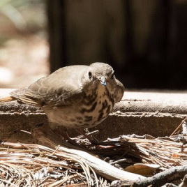 A Hermit Thrush (Image via Flickr)