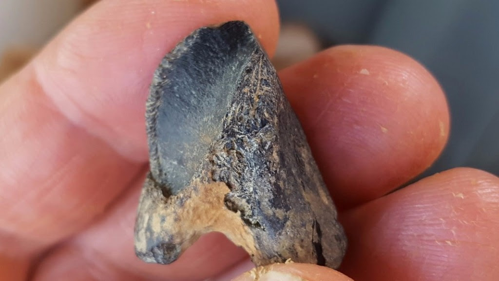 This is a tooth of a ceratopsid horned dinosaur from Mississippi. CREDIT Photo by George Phillips, MDWFP Museum of Natural Science.