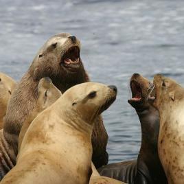 Steller sea lions (Image via David B. Ledig/USFWS)