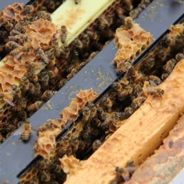 Worker honeybees in a hive at York University (Image via YorkU)