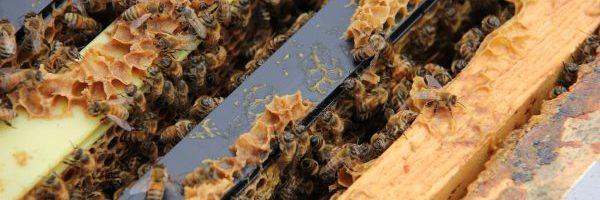 Worker honeybees in a hive at York University (Image via YorkU)