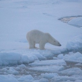 Polar bear on sea ice near Beaufort Sea,  Alaska. (Image by anim1865 via Flickr CC BY 2.0 )