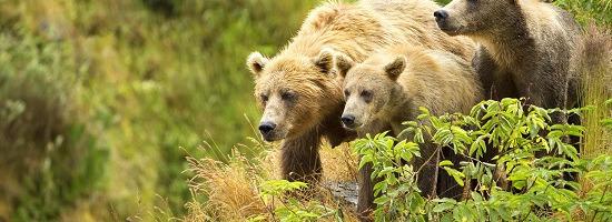 A family of Kodiak bears (Lisa Hupp/USFWS)