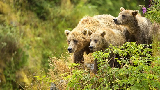 A family of Kodiak bears (Lisa Hupp/USFWS)