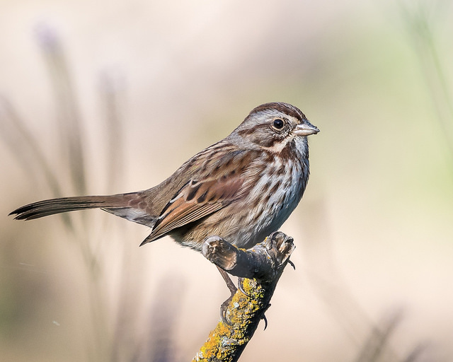 Song Sparrow (Image by Becky Matsubara via Flickr CC BY 2.0