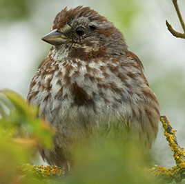 Auk - song sparrow BC