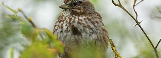 Auk - song sparrow BC