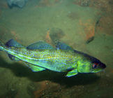 Cod-by-Peter-CC-BY-2.0