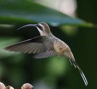 hermit-hummingbird-byCornellCCBY2.0